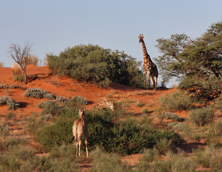 Giraffe on the read dunes