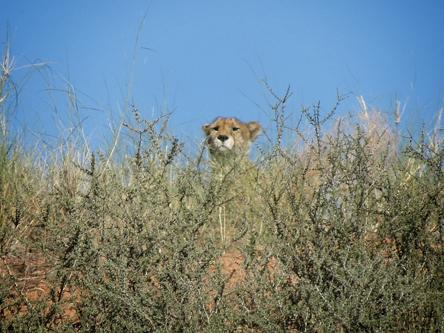 Mata Mata Cheetah